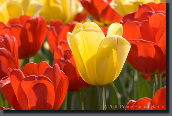 SpoonZ Husted-Gamm Yellow Tulip